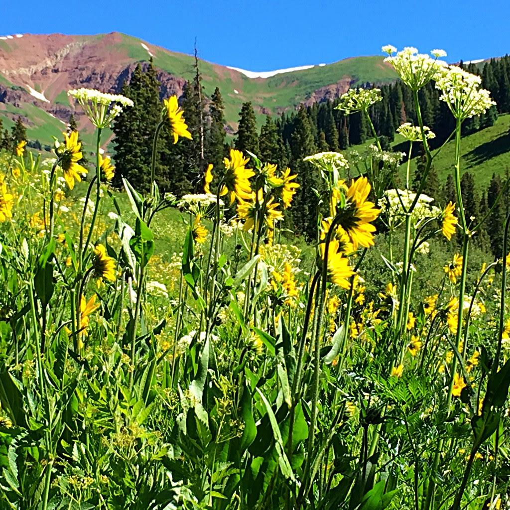aaf11eaac Crested Butte Wildflower Festival - Chrysalis Herbs