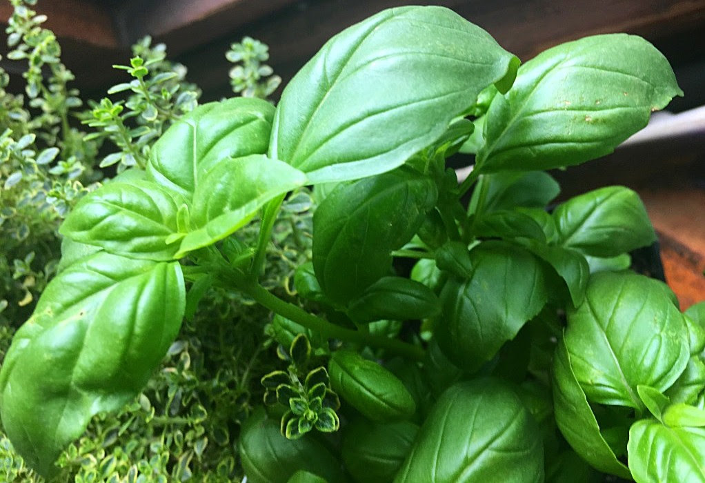 Herb of the Month – Basil – Ocimum sp.