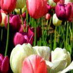 tulips-garden