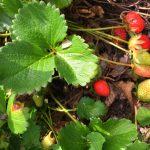 Arugula Strawberry Radish and Goat Cheese Salad