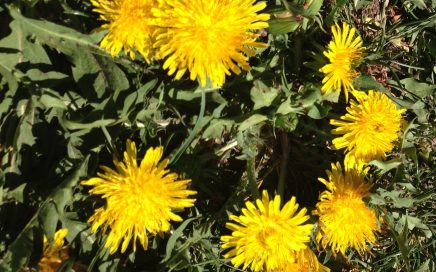 Herb of the Month – Dandelion, Taraxacum Officinale