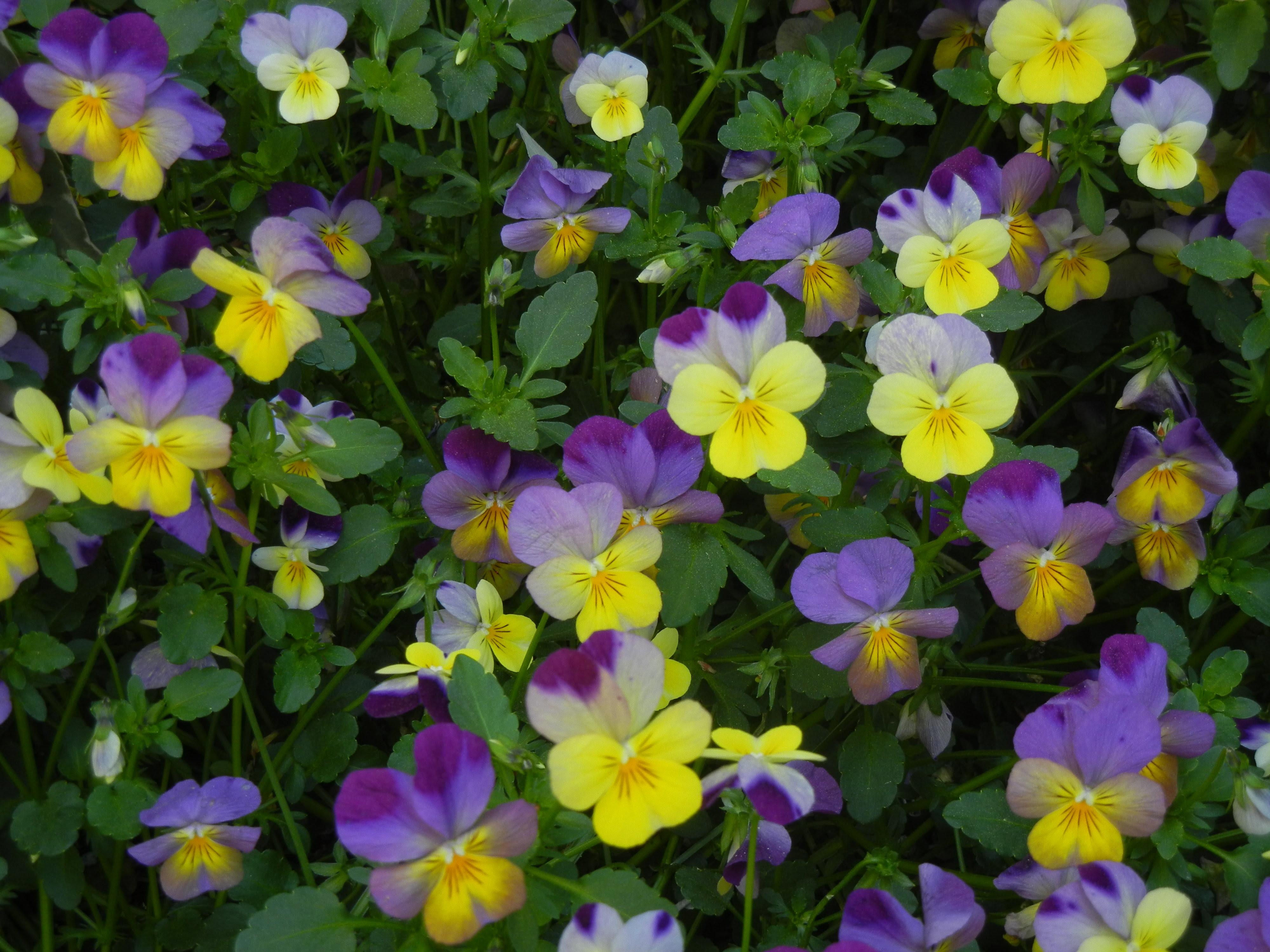 Violets – Viola sp.