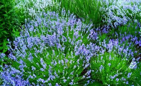 Denver Botanic Gardens Lavender Festival