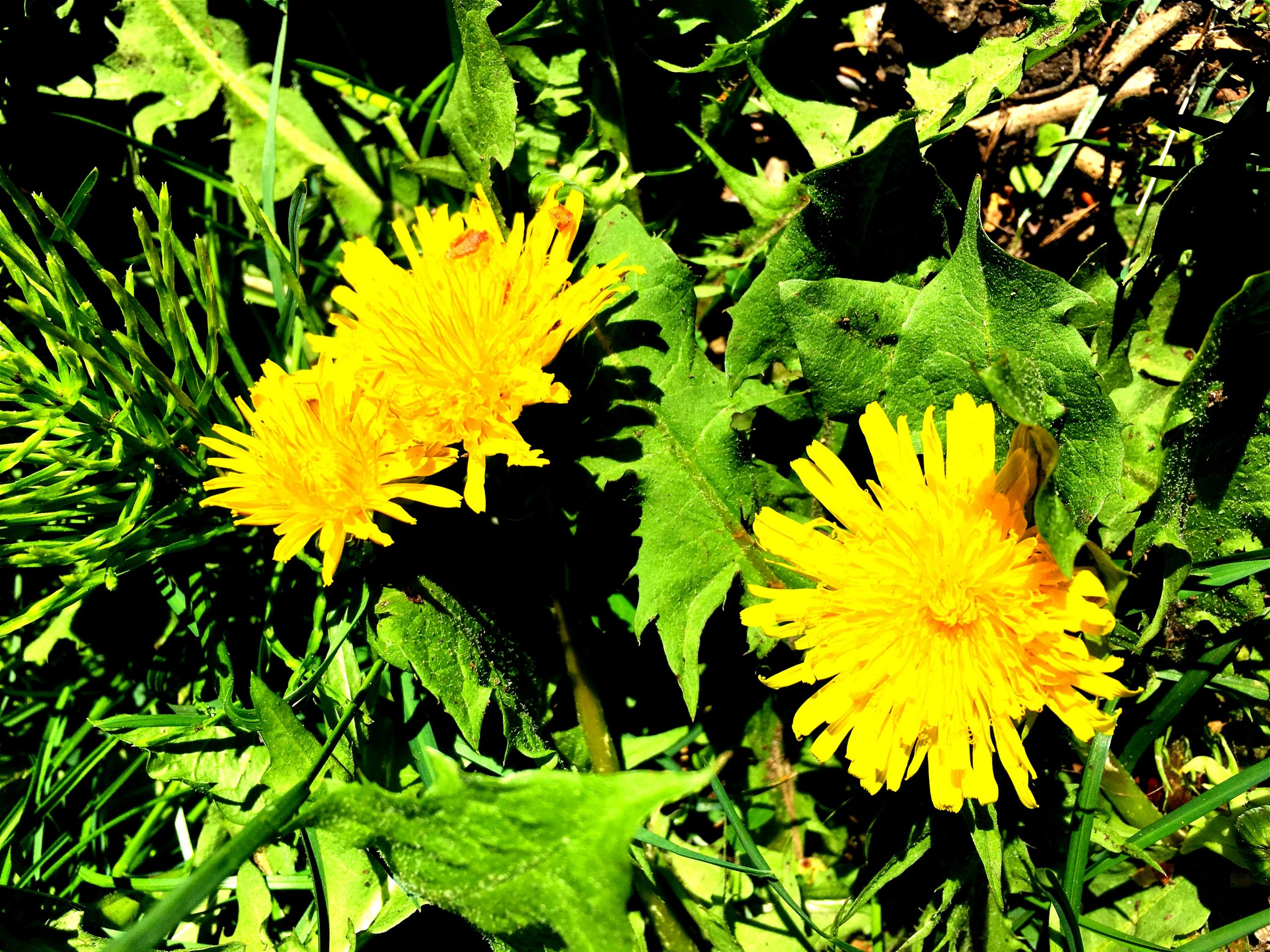 Herb of the Month – Dandelion