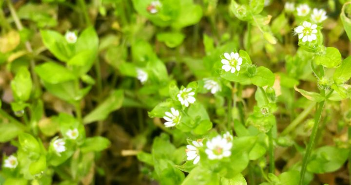 Herb of the Month – Chickweed - Stellaria media